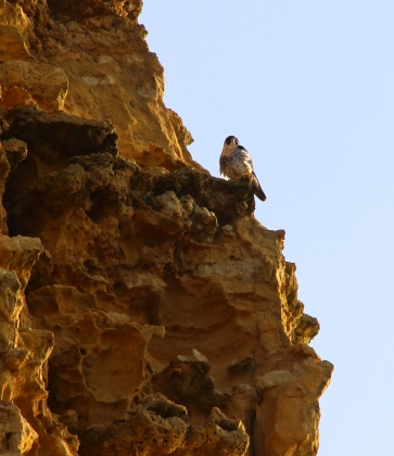 Peregrine on East Cliff