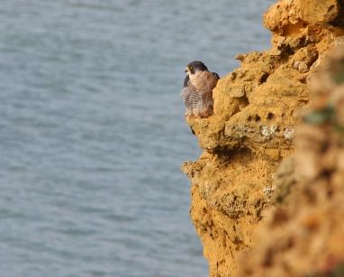 Peregrine falcon resting